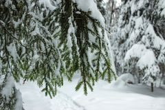 White Fairy Tale - Winter Forest and Branch Spruce. Mysterious tale of snow and winter trees. Beautiful green branch spruce with snow on it royalty free stock photos