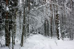White Fairy Tale - Winter Forest Landscape and Snow - 5. Mysterious tale of snow and winter trees. Beautiful forest landscape of untouched nature stock photos