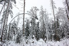 White Fairy Tale - Winter Forest Landscape and Snow - 8. Mysterious tale of snow and winter trees. Beautiful forest landscape of untouched nature royalty free stock images