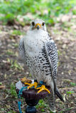 White Falcon royalty free stock photos