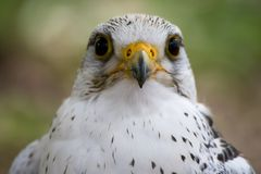 White Falcon bird Stock Photo