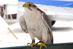 White falcon Royalty Free Stock Photography