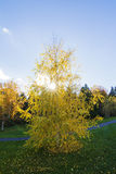 White fall birch tree Royalty Free Stock Photos
