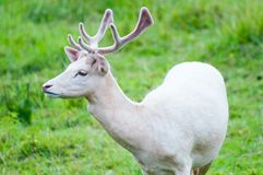 White Fallow Deer Stock Image