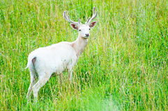 White Fallow Deer Royalty Free Stock Images