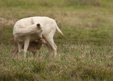 White fallow deer. Deer are also excellent jumpers and swimmers Royalty Free Stock Images