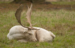 White fallow deer. Deer are also excellent jumpers and swimmers Royalty Free Stock Image