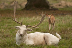White fallow deer. Deer are also excellent jumpers and swimmers Stock Photos