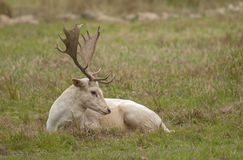 White fallow deer. Deer are also excellent jumpers and swimmers Royalty Free Stock Photos