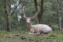 White fallow deer Royalty Free Stock Image