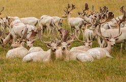 White Fallow Deer Royalty Free Stock Image