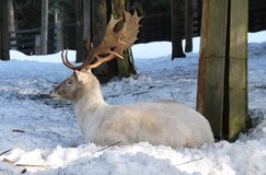 White fallow deer. Beautiful white fallow deer male having rest in the forest in winter royalty free stock image