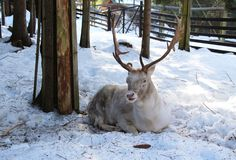 White fallow deer. Beautiful white fallow deer male having rest in the forest in winter royalty free stock photo