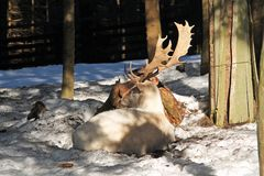 White fallow deer. Beautiful white fallow deer male having rest in the forest in winter stock images