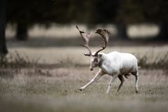 White Fallow Deer Buck Dancing. A large, mostly white adult male fallow deer performs a bow of the head, moving his leg as though dancing in behavior common in royalty free stock photo