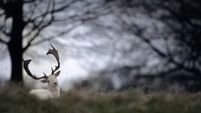 White Fallow Deer Buck with Trees. A white coloured fallow buck sits on grass atop of a hill with trees in the background stock photos