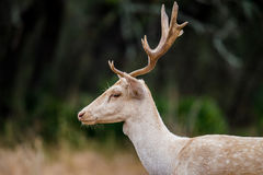 White Fallow Deer Close Up Stock Photo