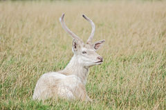 White fallow deer. The fallow deer (Dama dama) is a ruminant mammal belonging to the family Cervidae. This common species is native to western Eurasia, but has Royalty Free Stock Photography