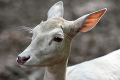 White fallow deer. A female white fallow deer or white hind is a white colored red deer explained by a condition known as leucism that causes its hair and skin stock photos