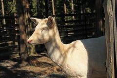 White fallow deer female Stock Photo