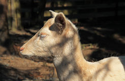 White fallow deer female Stock Images