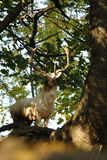 White fallow deer in forrest. White fallow deer in autumn forrest Royalty Free Stock Photos