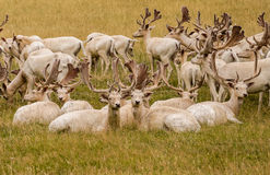 White Fallow Deer. A herd of white fallow deer in a grassy field on an english country estate farm. Buckinghamshire, England, UK royalty free stock image