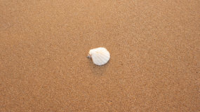 A white fan shaped seashell, nestled into the center of grainy sand Royalty Free Stock Photos