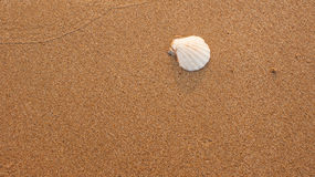White fan shaped seashell, nestled into the center of grainy sand Royalty Free Stock Image
