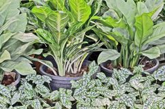 White fancy Leaved caladium and dumb canes Royalty Free Stock Photography