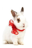 White fancy rabbit with a bow over white Royalty Free Stock Images