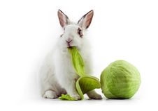 White fancy rabbit eating cabbage. On the white background Royalty Free Stock Photos
