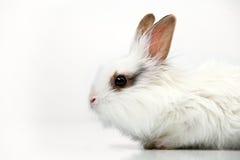 White fancy rabbit on white background Royalty Free Stock Photos