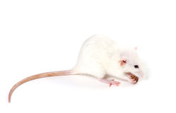 White fancy rat eating piece of bread Royalty Free Stock Images