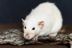White fancy rat sitting on wood on dark background Stock Photos