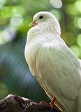 White fantail pigeon Royalty Free Stock Photography
