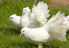 White fantail pigeons Royalty Free Stock Photo