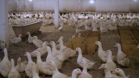 White ducks on a duck farm stock footage
