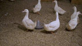 White ducks on a duck farm stock video
