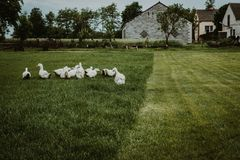 A group of ducks. White farm ducks feeding on green grass stock photography
