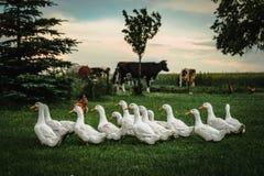 A group of ducks. White farm ducks feeding on green grass Stock Image
