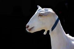 White farm goat isolated on black background. Profile of white goat wearing blue collar isolated on black background Stock Photography