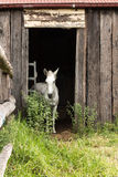 White farm horse standing in doorway of old wooden barn. Single white horse standing in barn doorway stock photography