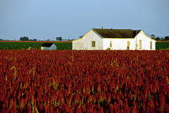 White farm house in red sorghum field. A white farm house in a farm land with large field of red sorghum in front and green field at the back stock images