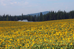 White Farmhouse in a Field of Yellow Sunflowers Stock Image