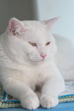 White fat cat. You are looking for Royalty Free Stock Image