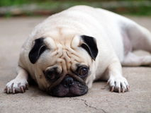 White fat lovely pug dog Royalty Free Stock Photos