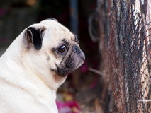 White fat lovely pug dog Royalty Free Stock Photo