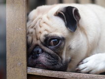 White fat lovely pug dog Royalty Free Stock Image