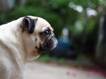 White fat lovely pug dog Royalty Free Stock Photography